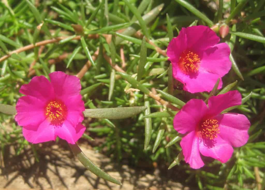 Portulaca grandiflora - pink