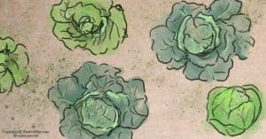 Growing Cabbage in Winter + 5 Easy Cabbage Recipes