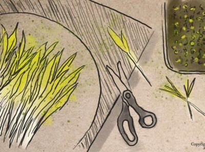 How to Grow Corn Shoots and Why You Should Try This Tasty Snack