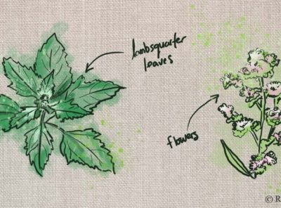 Lambsquarters Identification: How to Forage this Edible Wild Plant