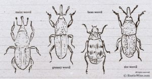 What Do Weevils Look Like: A Closer Look at the Pests in Your Pantry