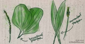 What Does Plantain Look Like:  How to Identify Two Species of this Practical Plant