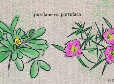 Plant Comparison: Purslane vs Portulaca