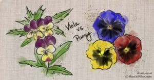 Viola Flower vs Pansy: What's the Difference?