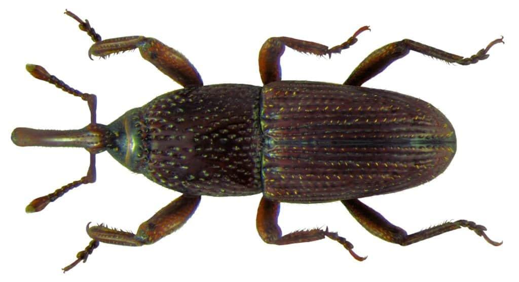 Weevil_Grain_Sitophilus granarius