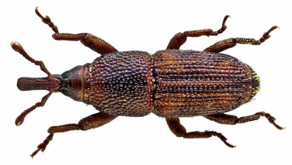 Weevil_Rice_Sitophilus Oryza
