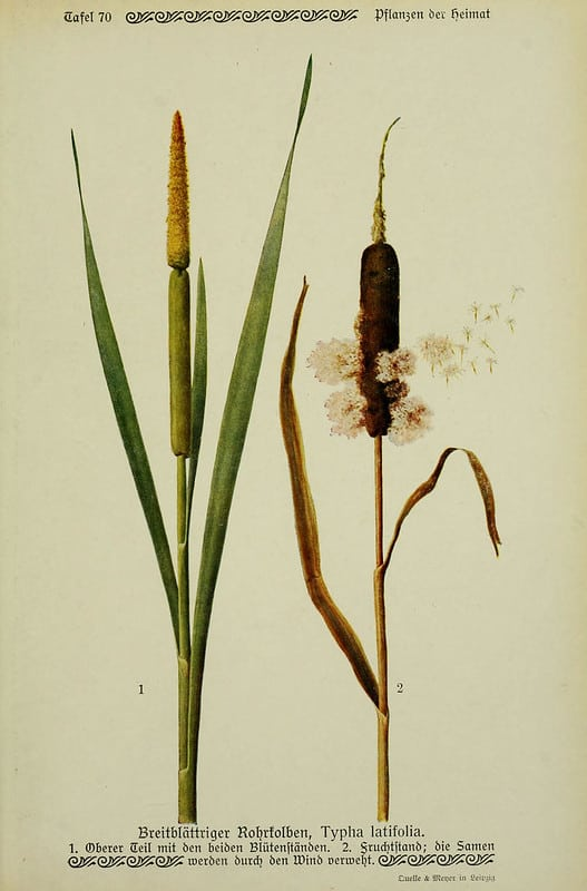 Cattail_Seed-Illustration-HowToPreserveCattails-BHL