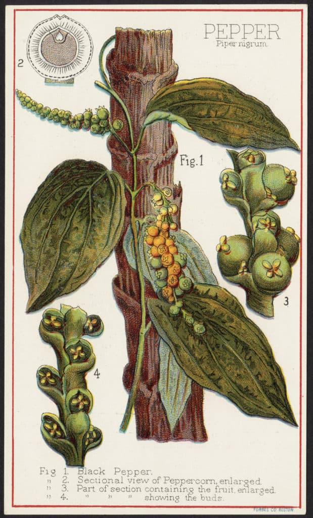 Flickr_ShelfLifeOfBlackPepper-pepperplant