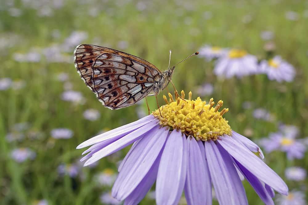 MowYourLawnSafelyforWildlife_Butterfly