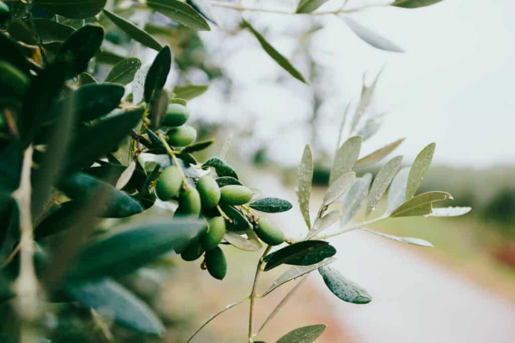 Unsplash_HowToMakeVeganSoap-olives