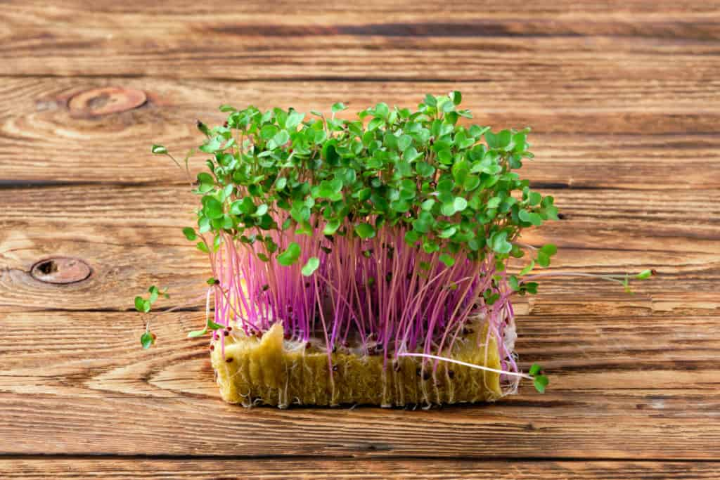 DepositPhotos_GrowKohlrabiMicrogreens-purple-kohlrabi