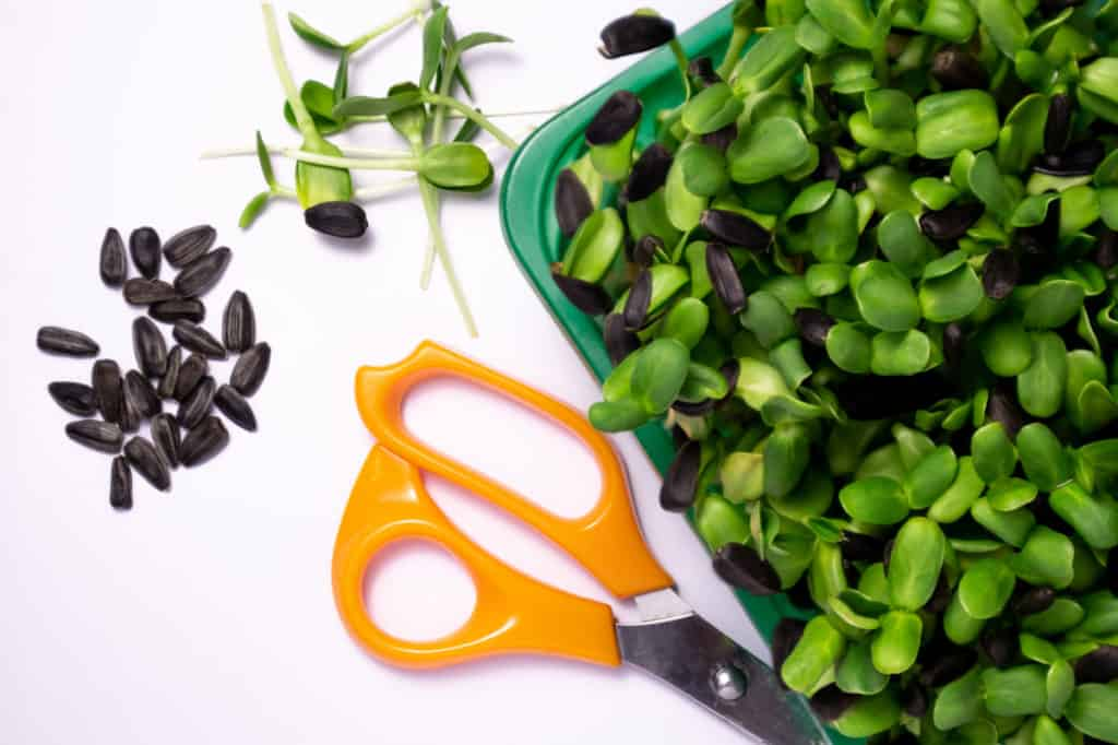 Depositphotos_SunflowerMicrogreensNutrition-SunflowerMicrogreens