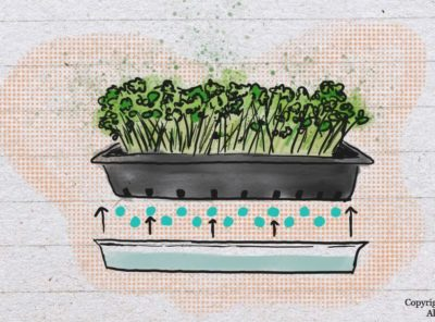Bottom Watering Microgreens: 10 Good Reasons To Do This