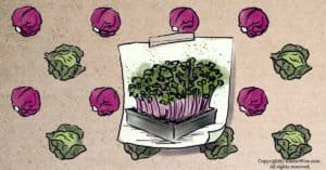Cabbage Microgreens: Tiny Greens With Big Health Benefits