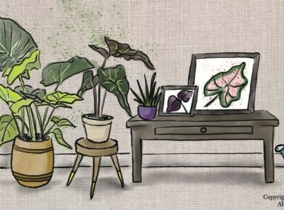 How To Care for Elephant Ear Plant Indoors and Outdoors