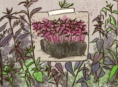 What Are Orach Microgreens? How To Grow and Eat Them