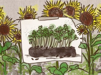 Sunflower Microgreens Nutrition: Health Benefits, How To Grow & Use Them
