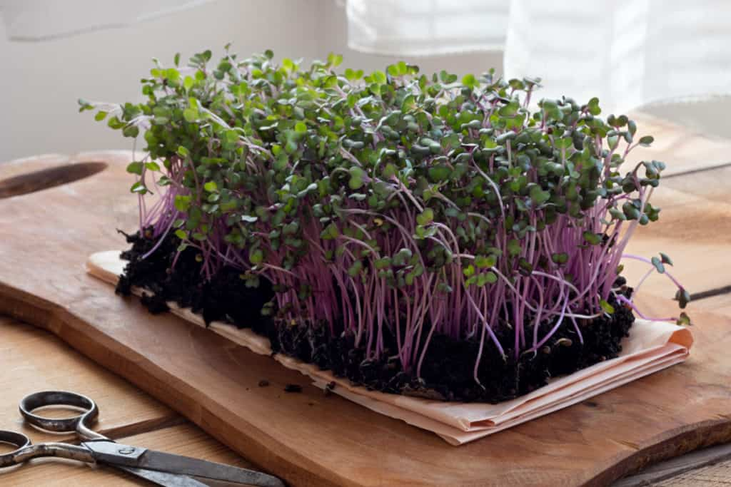 YayImages_CabbageMicrogreens_red-cabbage-microgreens-on-a-wooden-table