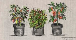 How To Grow Chili Peppers Indoors: What You Need To Know