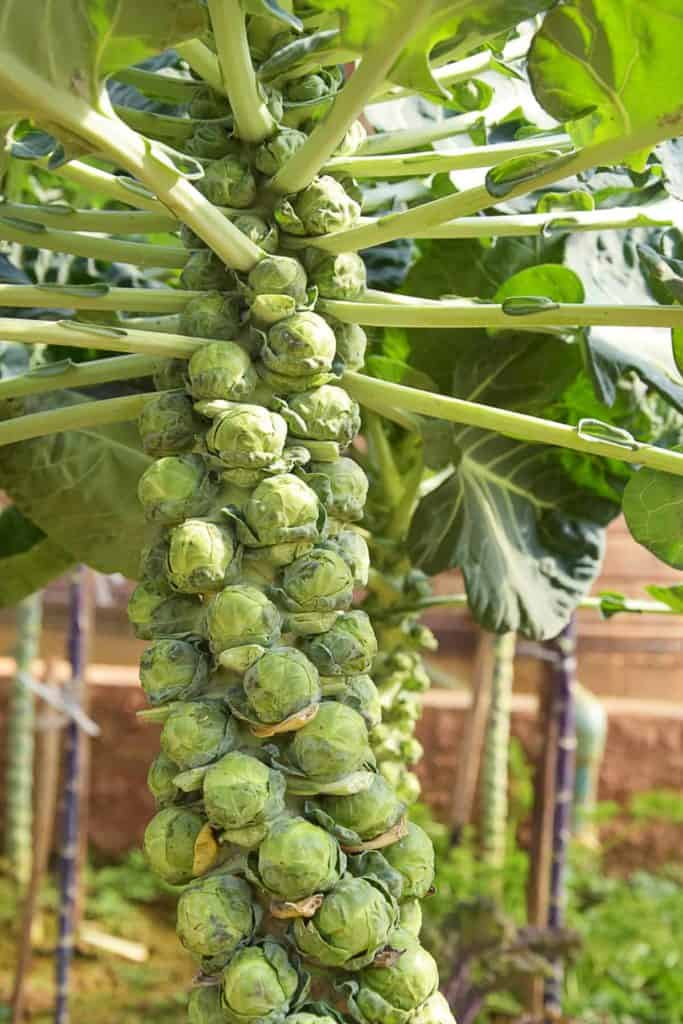 Depositphotos_HowToGetSeedsFromBrusselSprouts-BrusselsSprouts