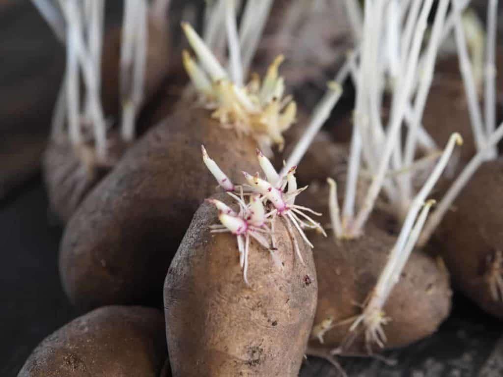 Depositphotos_WhatIsChittingPotatoes_sproutedpotatoes
