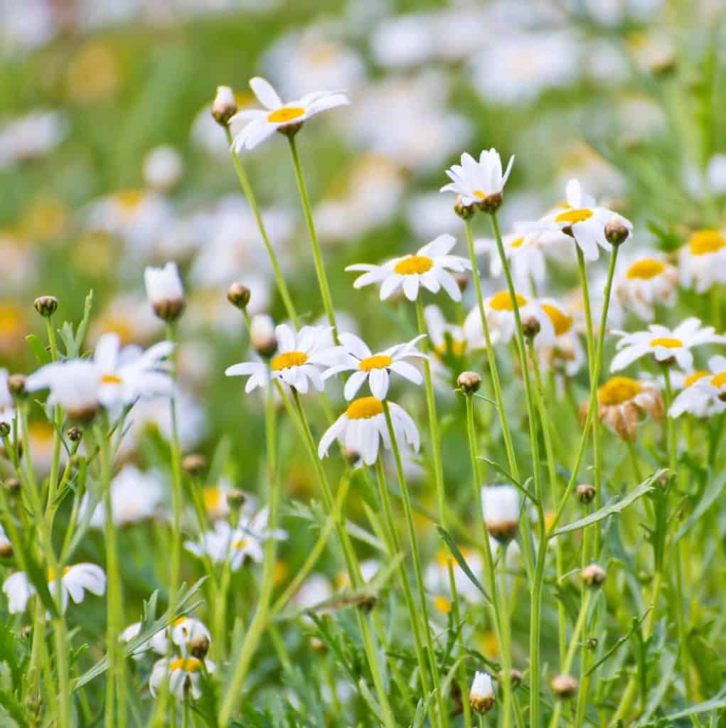 YayImages_HerbCompanionPlanting_chamomile-flowers-in-the-garden