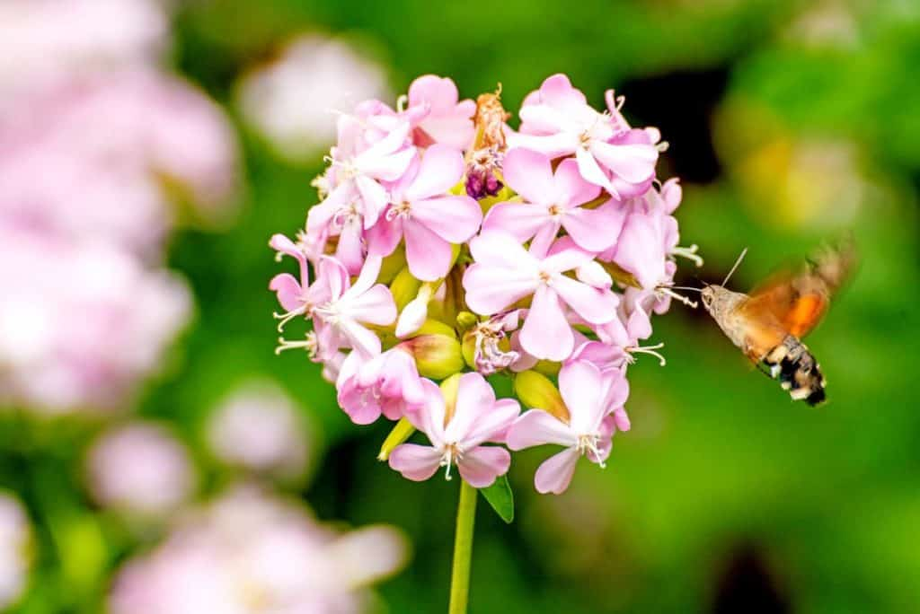 YayImages_HowToMakeSoapFromSoapwortPlant_common-soapwort-with-hummingbird-hawk-moth