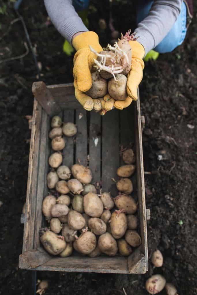 YayImages_WhatIsChittingPotatoes_seeding-potatoes