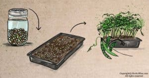 How To Grow Pea Microgreens: Quick and Tasty Greens That Regrow