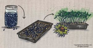 How To Grow Sunflower Microgreens: Tips for Success