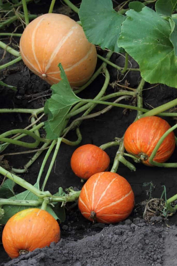 YayImages_PumpkinSeedGermination_pumpkin-vines